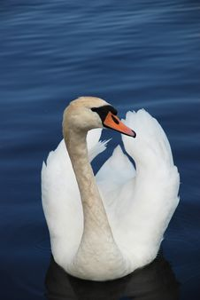 Free Swan In A Lake Royalty Free Stock Photography - 14566427
