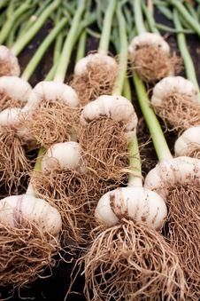 Free Fresh Organic Garlic Stock Photo - 14566470