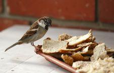 Free Sparrow Royalty Free Stock Photo - 14567095