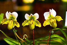 Free Threesome Orchid Royalty Free Stock Photo - 14567235