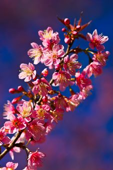 Free Thai S Sakura Stock Photo - 14567290
