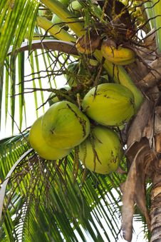 Free Threesome Coconuts Royalty Free Stock Photos - 14567428