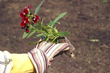 Free Holding Flowers For The Garden Royalty Free Stock Photos - 14567598
