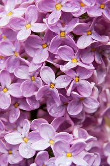 Free Close-up Beautiful Lilac Flowers Royalty Free Stock Photos - 14568018
