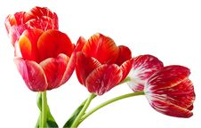 Free Red Stripped Tulips Royalty Free Stock Images - 14568019