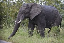 Free Elephant Stock Photo - 14568580