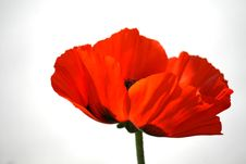 Free Poppy Stock Image - 14569161