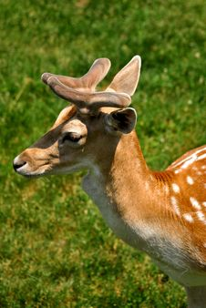 Free A Deer In Velvet Royalty Free Stock Image - 14569226