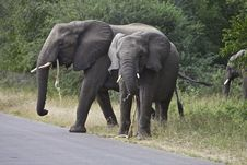 Free African Elephant S Royalty Free Stock Image - 14569596