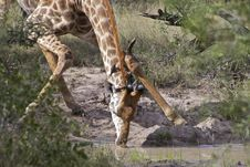 Free Giraffe Drinking Stock Photos - 14569863