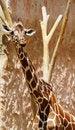 Free Giraffe Royalty Free Stock Photos - 14571458