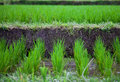 Free Rice Field In Bali Vilage Stock Images - 14573664