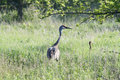 Free Sandhill Crane Stock Photo - 14575100