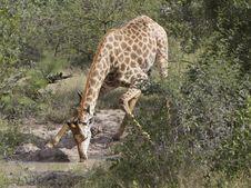 Free Giraffe Drinking Water Stock Image - 14570101