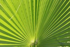 Free Beautiful Green Palm Leaf Background Royalty Free Stock Photos - 14570158