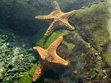 Free Starfish Royalty Free Stock Images - 14570329