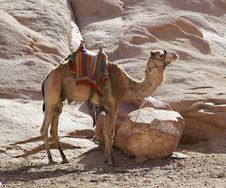 Free Camel In Mountains Stock Photography - 14570332