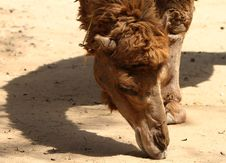 Free Camel Stock Photo - 14571300