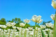 Free Many Tulips Royalty Free Stock Photo - 14571355