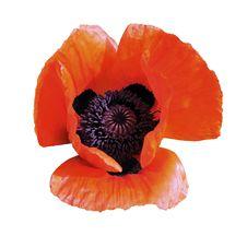 Flower Of Brightly Red Garden Poppy Royalty Free Stock Image