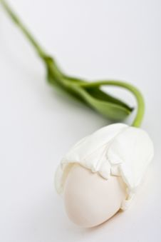 Free Egg In White Tulip Stock Image - 14572111