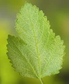 Free Closeup Of A Beautiful Green Leaf Royalty Free Stock Photography - 14572277