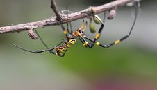Hanging Spider On Branch Royalty Free Stock Photos