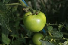 Free Green Tomato Royalty Free Stock Images - 14572949