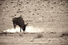 Free Wildebeest Stock Photography - 14573122