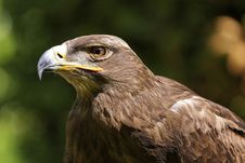 Free Steppe Eagle Stock Photography - 14573242