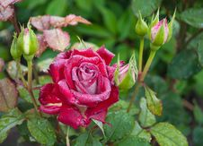 Free Red Rose Stock Photography - 14573272