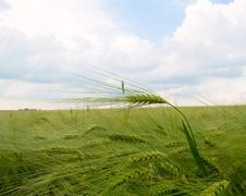 Free Green Field Of Barley Royalty Free Stock Image - 14573336