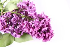Pink Lilac Royalty Free Stock Images