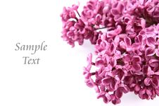 Pink Lilac Stock Image