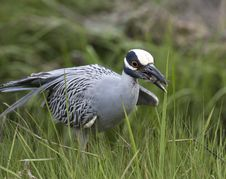 Free Yellow-crowned Night-heron Stock Photography - 14573392