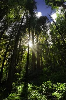 Free Beautiful Forest With Sun Rays Royalty Free Stock Photography - 14574027