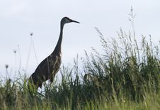Free Sandhill Crane Stock Photography - 14574582