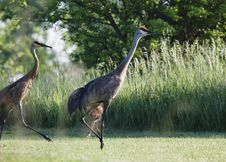 Free Sandhill Crane Stock Photo - 14574760