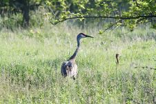 Free Sandhill Crane Stock Photo - 14575100
