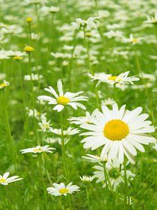 Free Flowers  Camomiles   Glade Stock Photos - 14575593