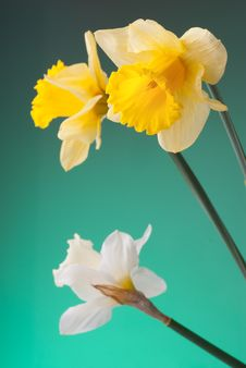 Free Yellow And White Narcissus On Green Background Stock Photo - 14576550