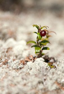 Free One Bush Of The Cowberry Royalty Free Stock Photo - 14577045
