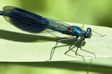Free Banded Demoiselle Stock Photography - 14577052