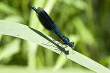 Free Banded Demoiselle Stock Photography - 14577082