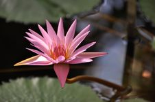 Pink Water Lily Flower Royalty Free Stock Photos