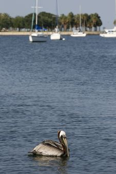 Free Pelican Floating Stock Photography - 14578842