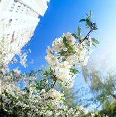 Free Blossoms Against Blue Sky. Royalty Free Stock Images - 14578899