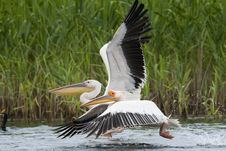 Free Great White Pelicans Royalty Free Stock Image - 14579626