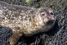 Free Cute Wild Seal Isle Of Skye Stock Images - 14579814