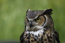 Free Great Horned Owl Stock Photos - 14579913